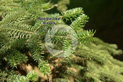 Abies numidica. Algerian fir. Stem. Upper surface