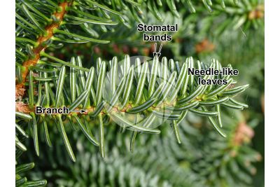 Abies numidica. Algerian fir. Stem. Lower surface