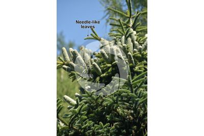 Abies numidica. Algerian fir. Strobilus