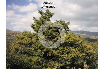 Abies pinsapo. Spanish fir