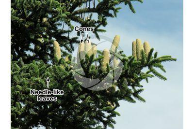 Abies pinsapo. Spanish fir. Strobilus