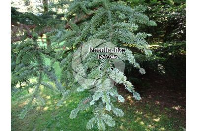 Abies procera var glauca. Noble fir. Leaf. Upper surface