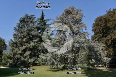 Cedrus atlantica. Cedro dell'Atlante