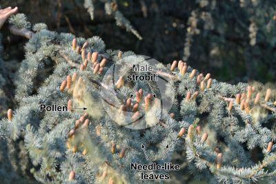 Cedrus atlantica. Atlas cedar. Male strobilus