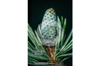 Cedrus atlantica. Atlas cedar. Female strobilus