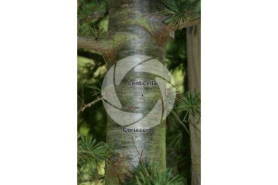 Cedrus brevifolia. Cedro di Cipro. Fusto