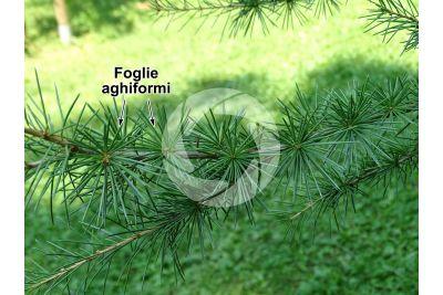 Cedrus brevifolia. Cedro di Cipro. Foglia