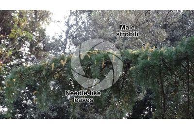 Cedrus deodara. Himalayan cedar. Male strobilus