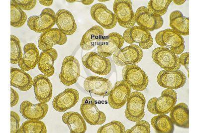 Cedrus deodara. Himalayan cedar. Pollen. 125X