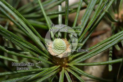 Cedrus deodara. Himalayan cedar. Female strobilus