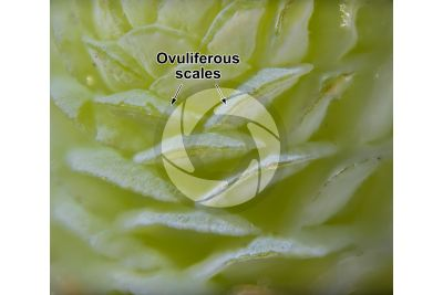 Cedrus deodara. Himalayan cedar. Female strobilus. 20X