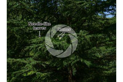 Cedrus deodara. Himalayan cedar. Strobilus