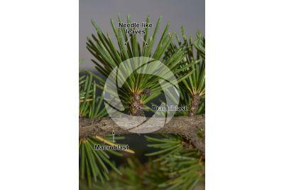 Cedrus libani. Cedar of Lebanon. Leaf