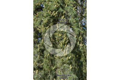 Cedrus libani. Cedar of Lebanon. Male strobilus