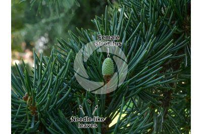 Cedrus libani. Cedar of Lebanon. Female strobilus