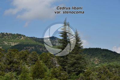 Cedrus libani var stenocoma. Cedro di Turchia