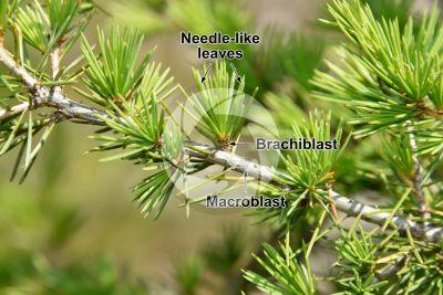 Cedrus libani var stenocoma. Taurus cedar. Leaf