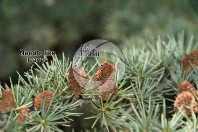 Cedrus libani var stenocoma. Taurus cedar. Male strobilus