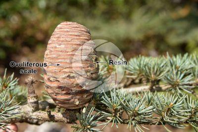 Cedrus libani var stenocoma. Taurus cedar. Strobilus