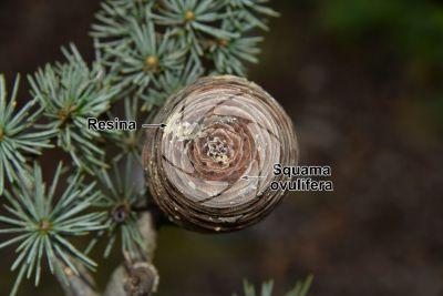 Cedrus libani var stenocoma. Cedro di Turchia. Strobilo. Vista superiore