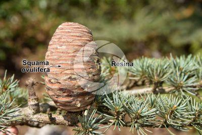 Cedrus libani var stenocoma. Cedro di Turchia. Strobilo