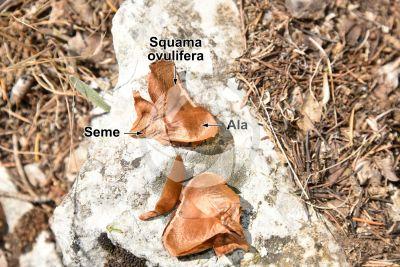Cedrus libani var stenocoma. Cedro di Turchia. Seme