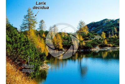 Larix decidua. European larch