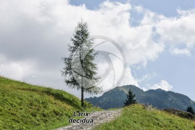 Larix decidua. European larch