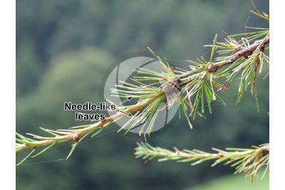 Larix decidua. European larch. Leaf