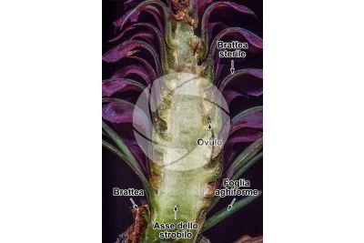 Larix decidua. Larice. Strobilo femminile. Sezione longitudinale