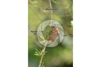 Larix decidua. European larch. Strobilus