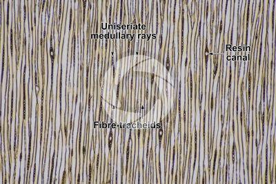 Larix decidua. European larch. Stem. Tangential longitudinal section. 64X