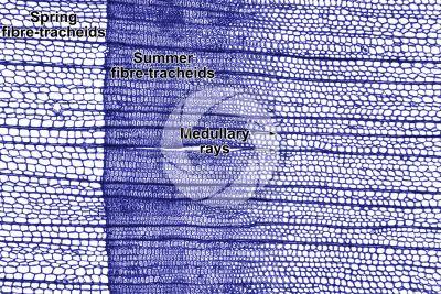 Larix decidua. European larch. Stem. Transverse section. Contrasting colour. 64X