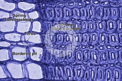 Larix decidua. European larch. Stem. Transverse section. Contrasting colour. 500X