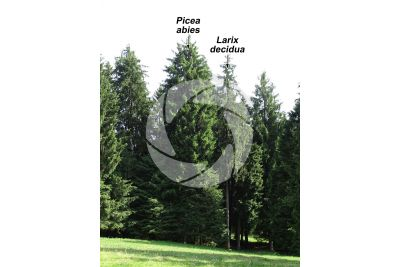 Picea abies. Norway spruce