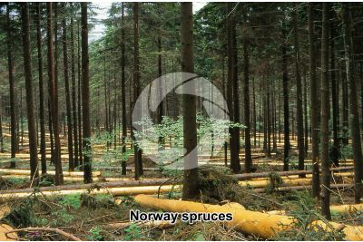 Picea abies. Norway spruce. Stem