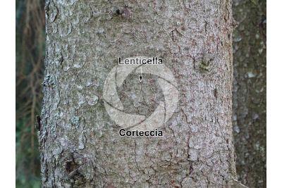 Picea abies. Abete rosso. Fusto