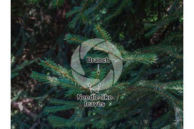 Picea abies. Norway spruce. Leaf