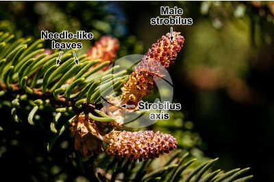 Picea abies. Norway spruce. Male strobilus