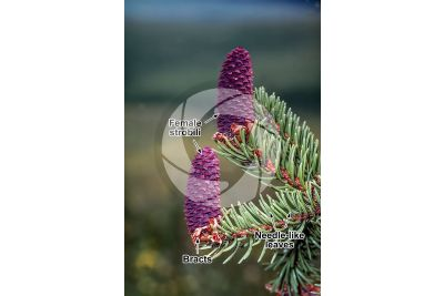 Picea abies. Norway spruce. Female strobilus