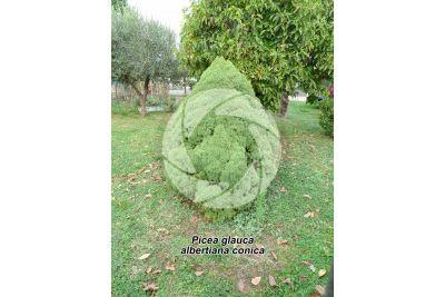 Picea glauca albertiana conica. Alberta spruce Conica