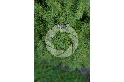 Picea glauca albertiana conica. Alberta spruce Conica. Leaf
