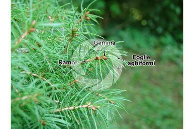 Picea glauca albertiana conica. Abete rosso di Alberta. Foglia