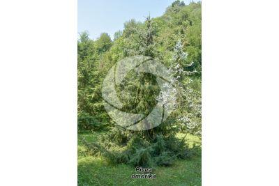 Picea omorika. Serbian spruce