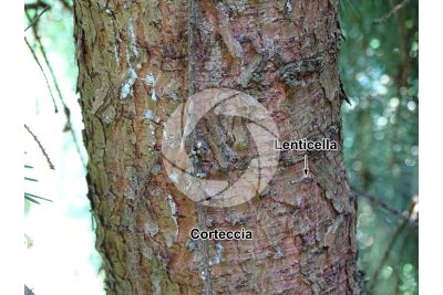 Picea omorika. Abete di Serbia. Fusto