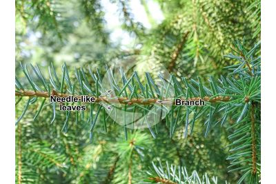 Picea omorika. Serbian spruce. Leaf