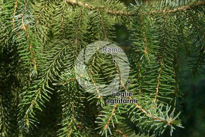 Picea omorika. Abete di Serbia. Foglia
