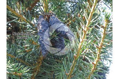 Picea omorika. Serbian spruce. Strobilus
