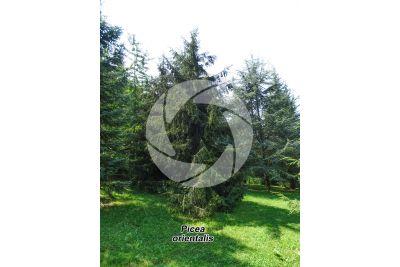 Picea orientalis. Caucasian spruce
