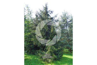 Picea orientalis. Abete del Caucaso